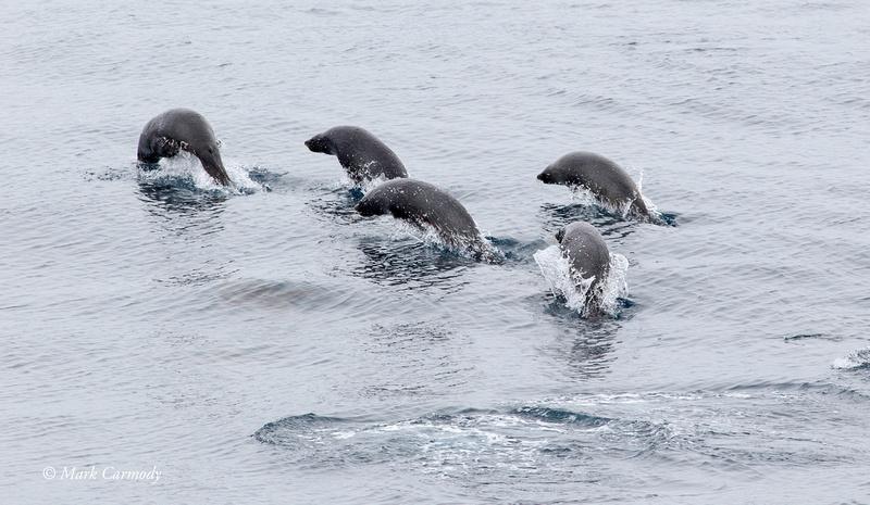 Antarctic Fur Seals porpoising