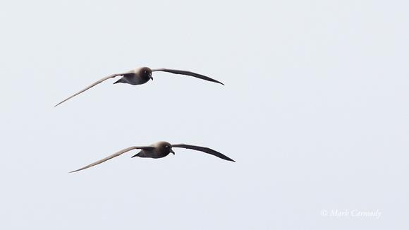 Light-mantled Sooty Albatross