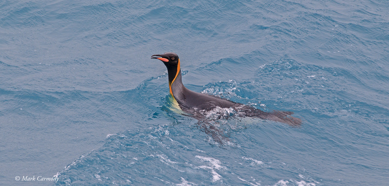 MC008963 King Penguin water