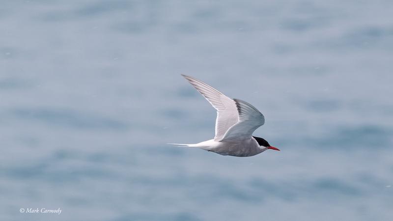 MC009507 Antarctic Tern