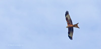 "Red Kite ""Milvus milvus"""
