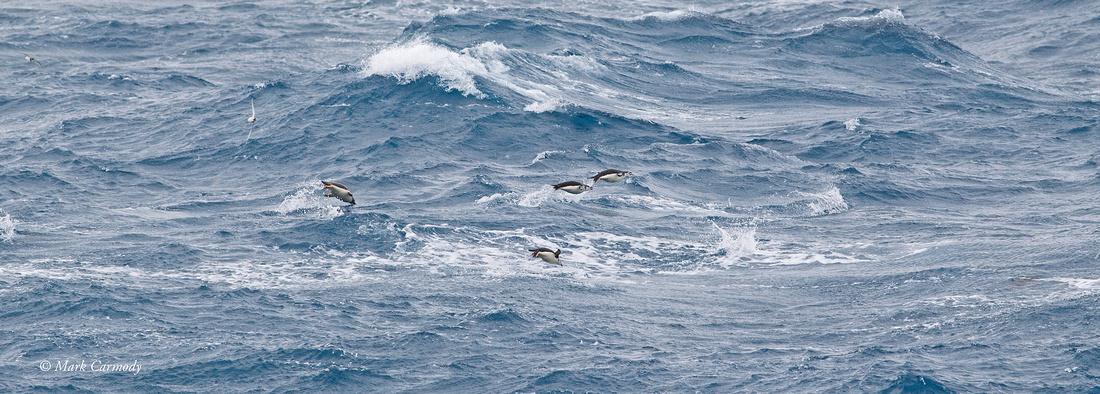 MC001102 Penguin porpoise