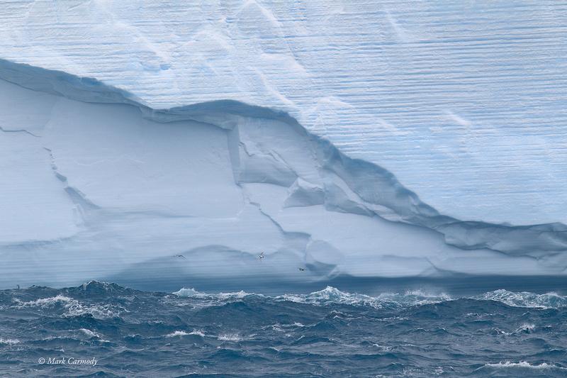 MC001124 Iceberg petrels