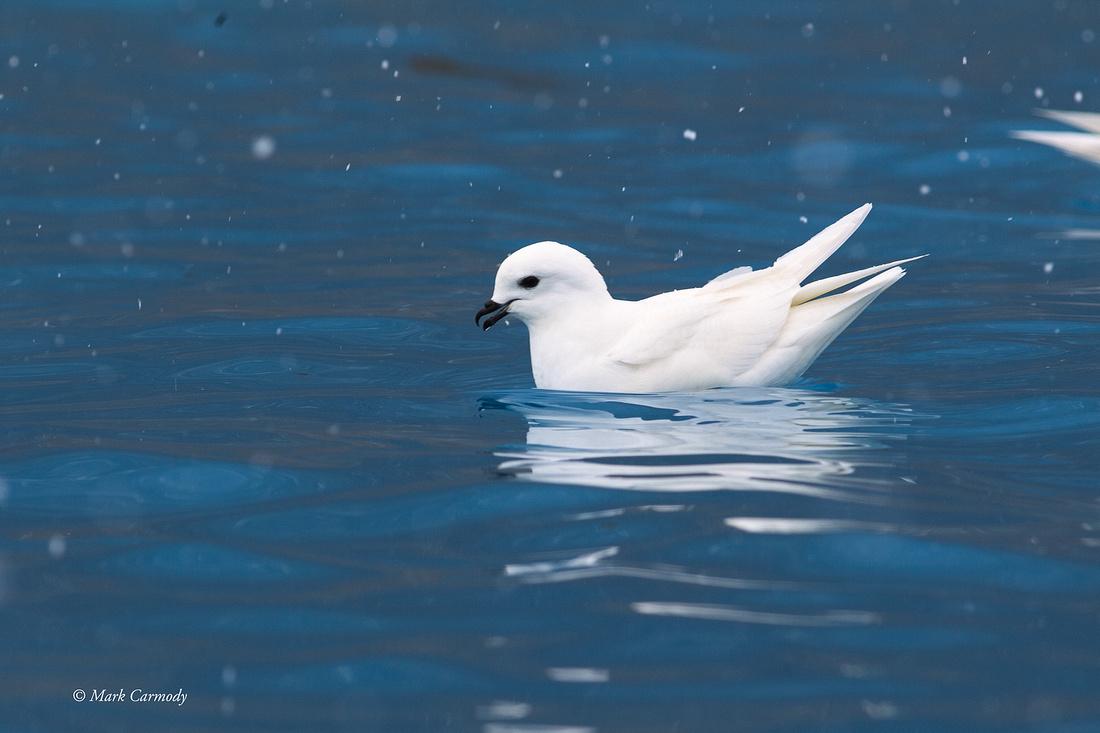 MC001371 Snow Petrel