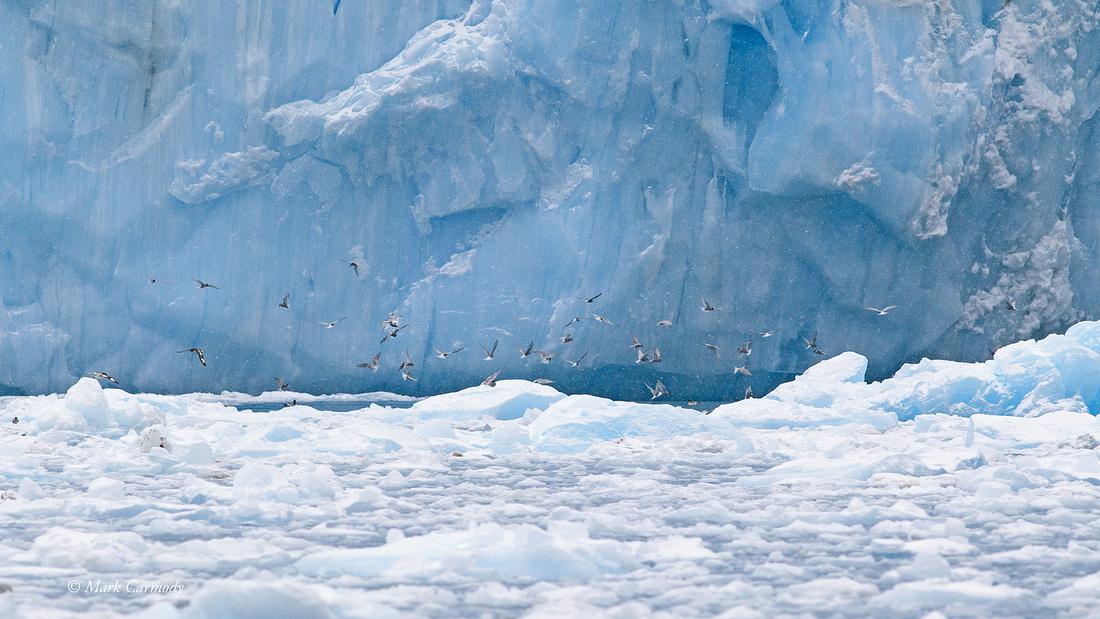 MC001392 Antarctic Terns Pintado