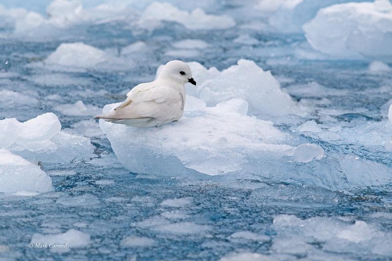 MC001456 Snow Petrel