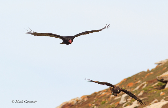 Turkey Vulture and Striated Caracara
