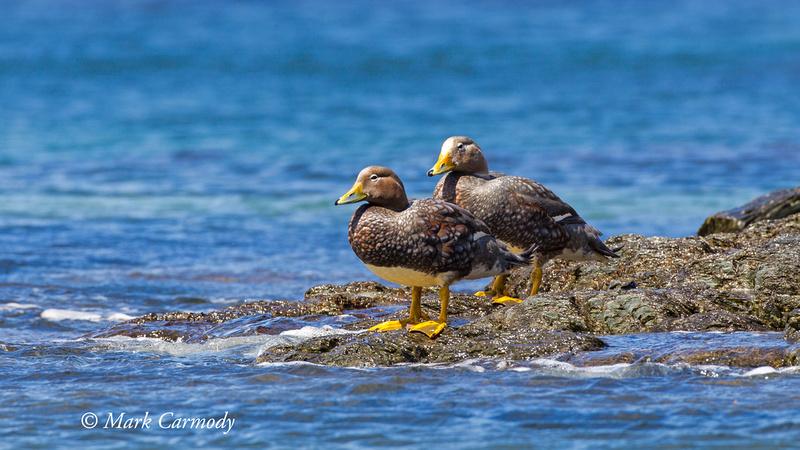 Flightless (Magellanic) Steamer Duck