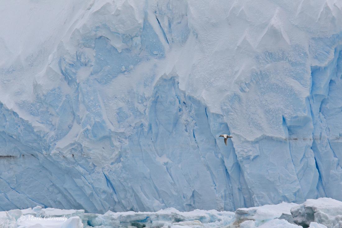 MC004696 Giant Petrel glacier