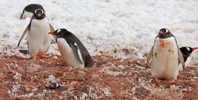 MC__5138 Gentoo Penguins