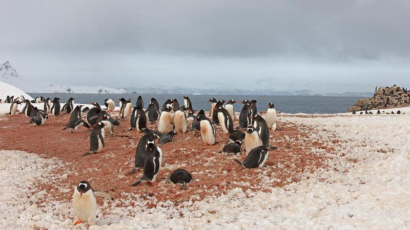 MC__5152 Antarctic Gentoo