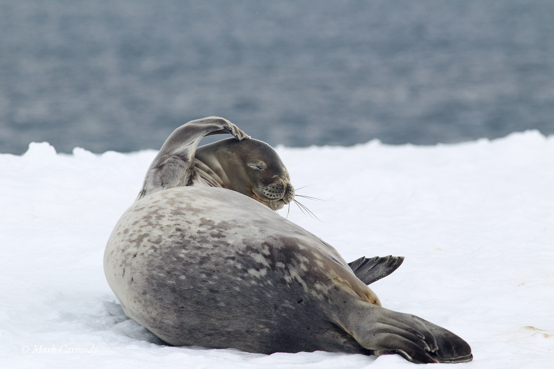 MC004967 (1) Weddell Seal
