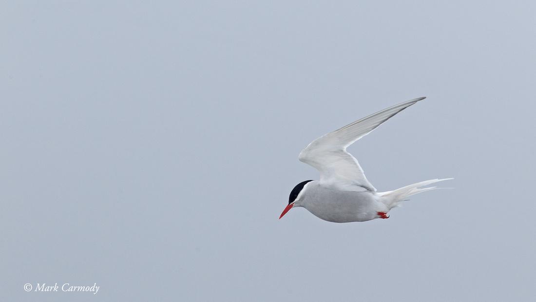 MC005120 (1) Antarctic Tern