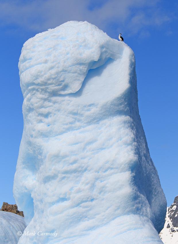 MC005924 Antarctic Shag