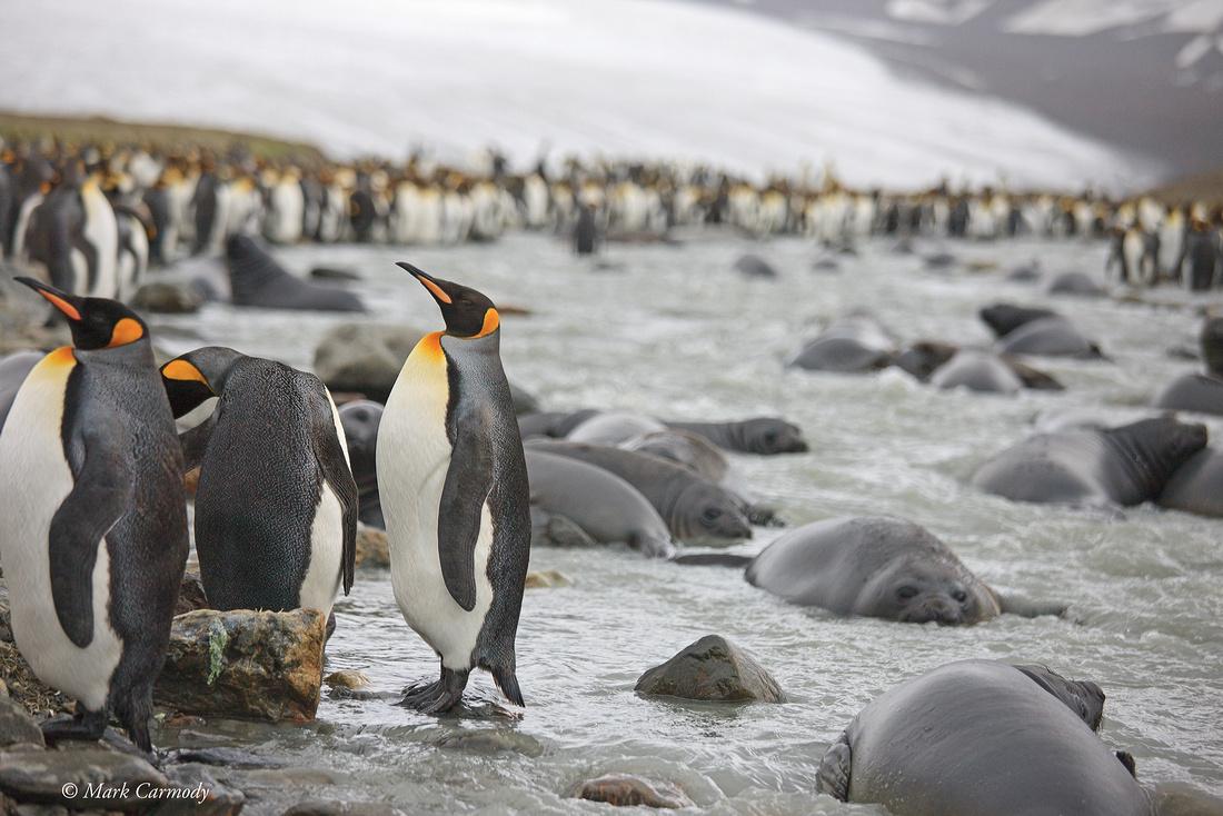 MC__0360 King Penguin weaners
