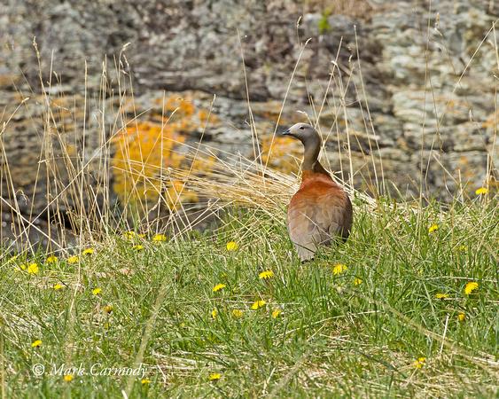 Upland Goose (female)