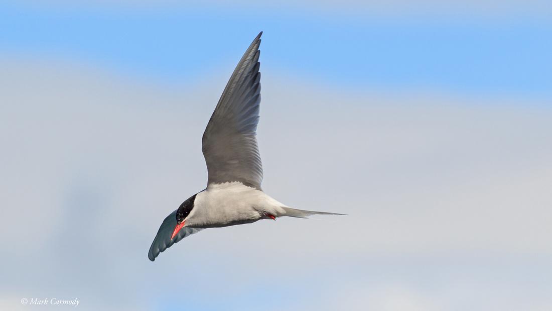 MC009642 Antarctic Tern