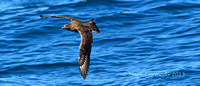 Great Skua or Bonxie (Stercorarius skua)