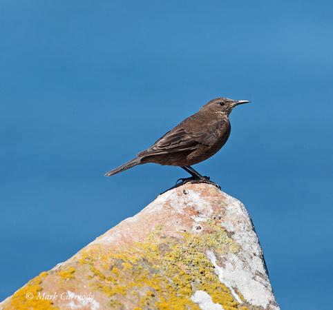 Tussac Bird (Black Cinclodes)