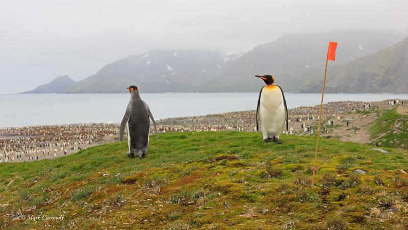 MC__0158 King Penguin pair Andrew