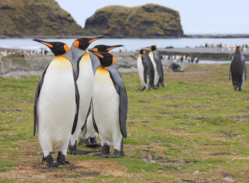 MC__0294 King Penguin gang