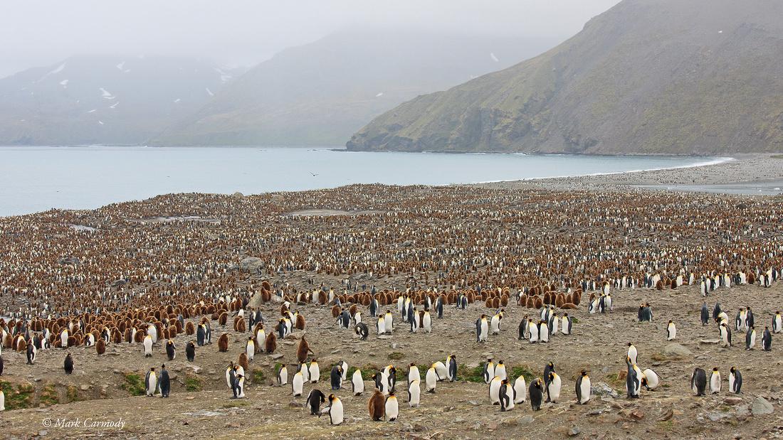 MC__0173 King Penguins Andrews Bay