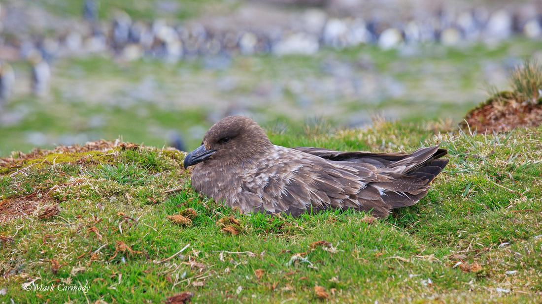 MC__0278 Antarctic Brown Skua