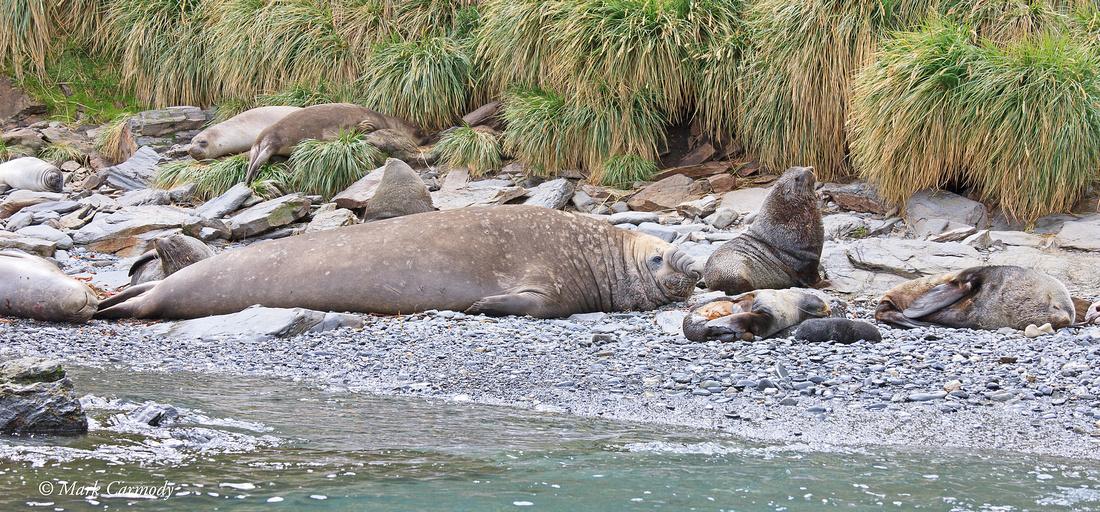 MC__0118 Fur Seal