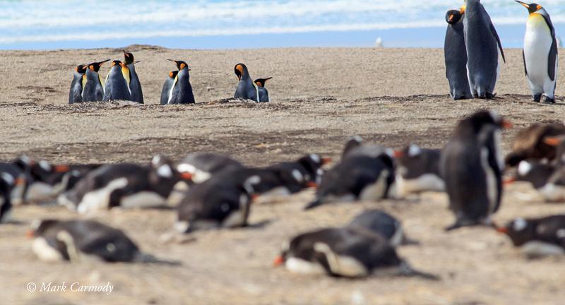 King Penguins huddle