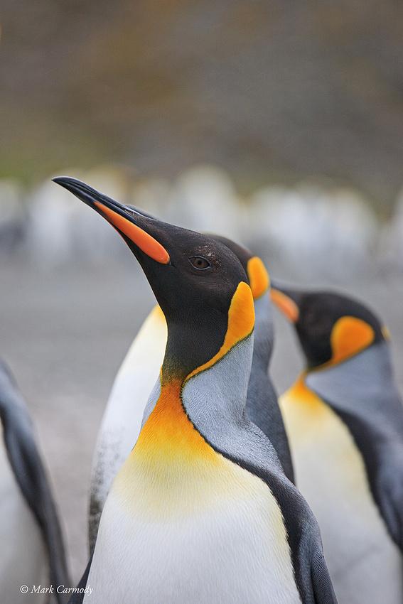 MC__0454 King Penguin profile