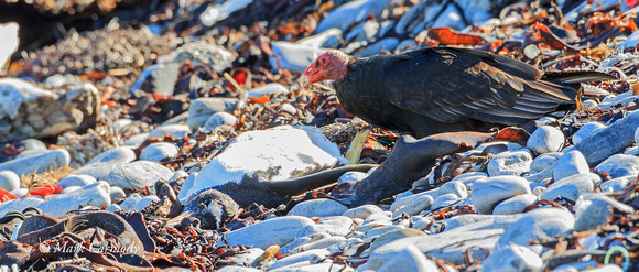Turkey Vulture with Gentoo carcass