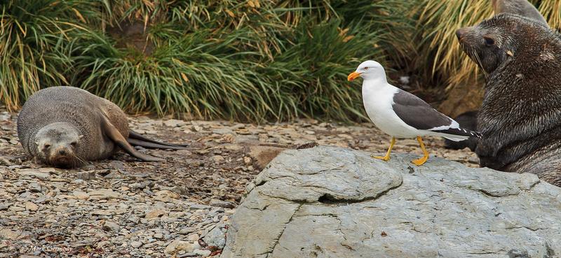 MC009882 Kelp Gull
