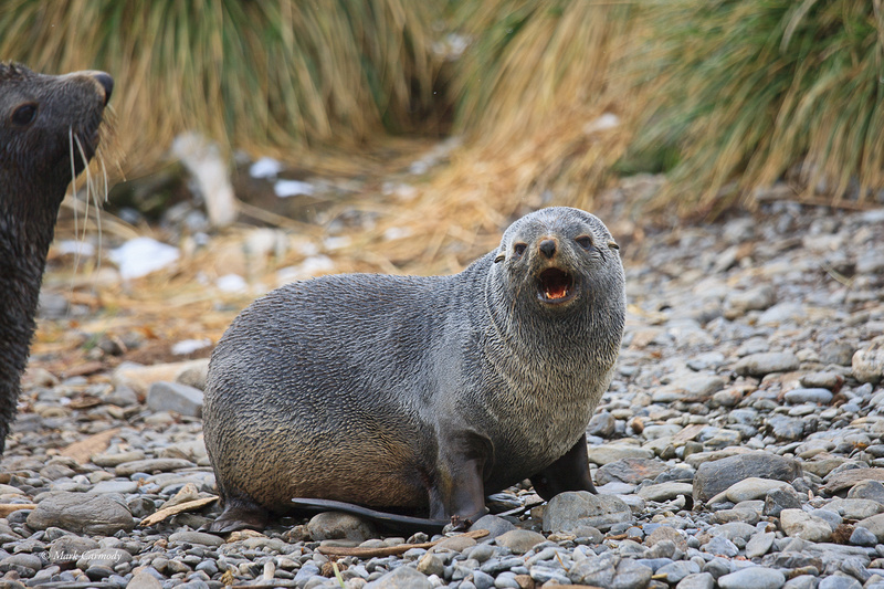 MC__0024 Fur Seal growl