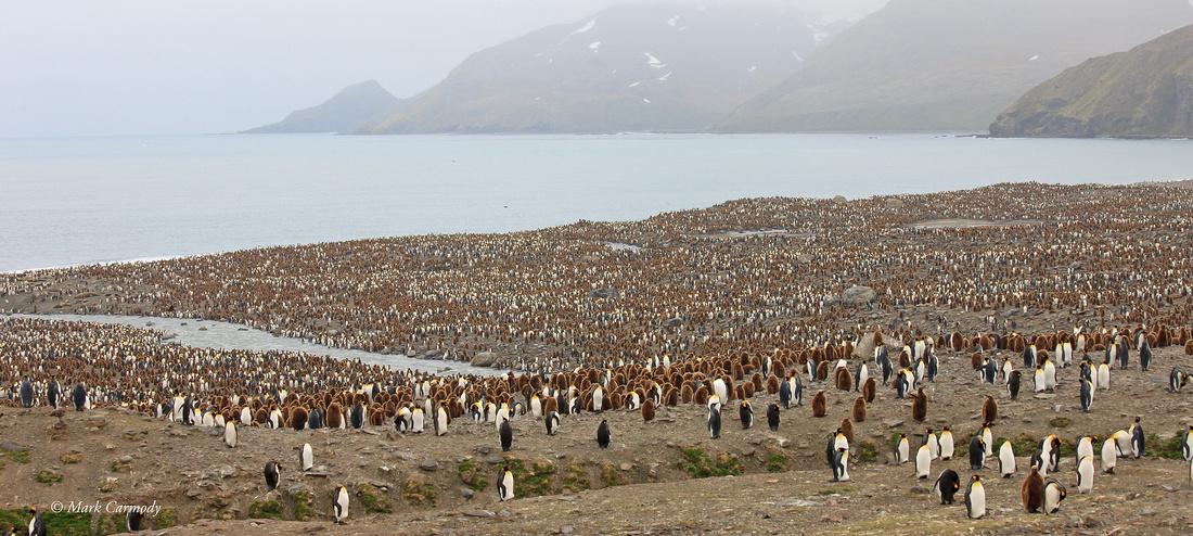 MC__0180 King Penguin Andrews