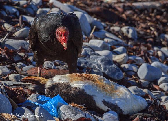Turkey Vulture with Gentoo carcass