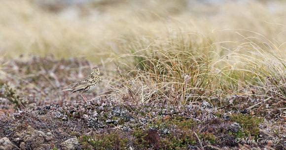 MC002508 Falkland Pipit