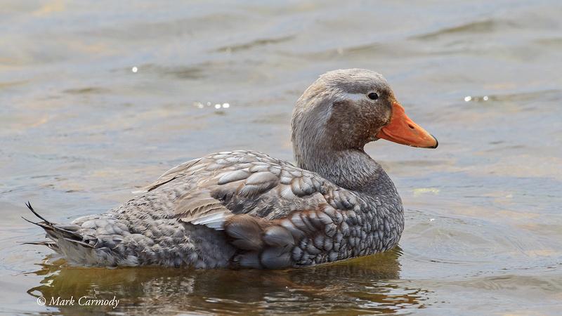 Falkland Steamer Duck (male)