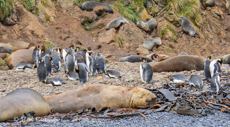 Southern Elephant and Fur Seal, King and Gentoo Penguin