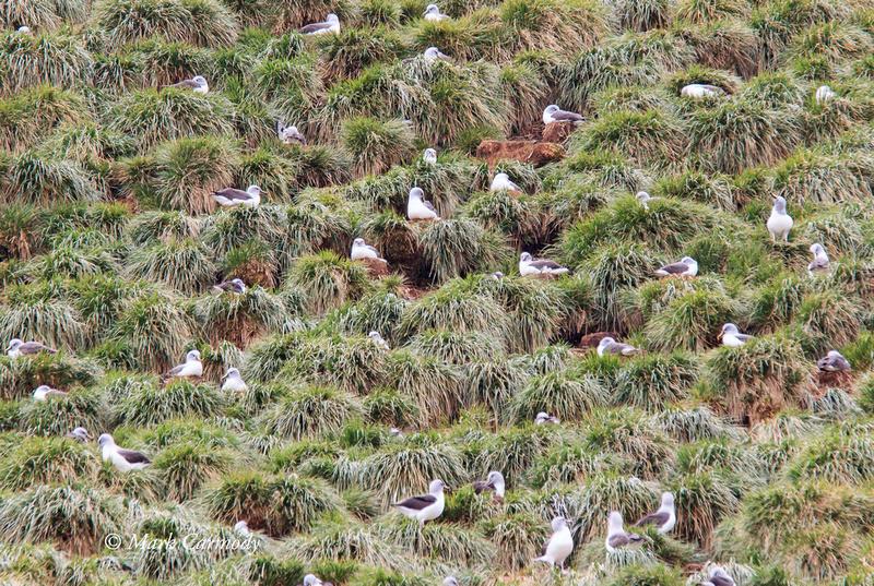MC007438 Grey-headed Albatross colony