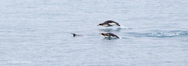 MC008142 King Penguin porpoise