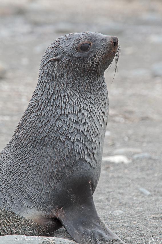 MC008661 Fur seal young male