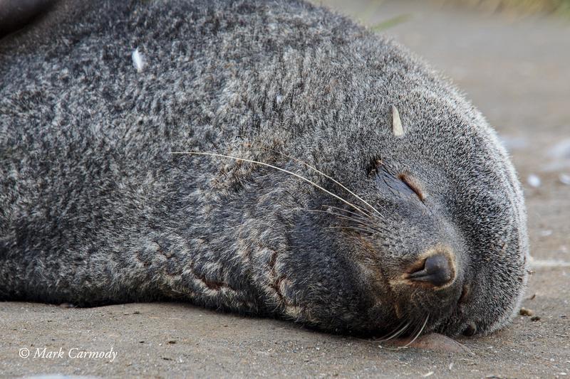 MC008522 Fur seal snooze