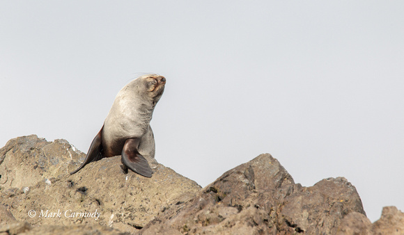 Antarctic Fur Seal (female)