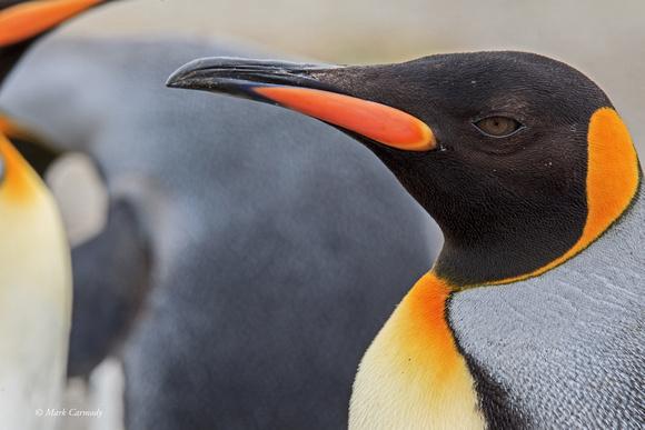MC008496 King Penguin close up