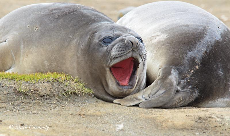 MC008235 Weaner yawn