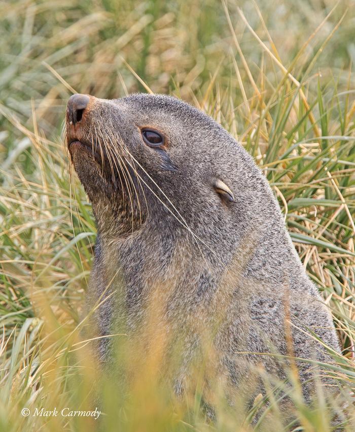 MC008262 Antarctic Fur Seal