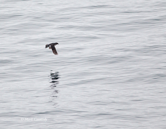 South Georgia Diving Petrel