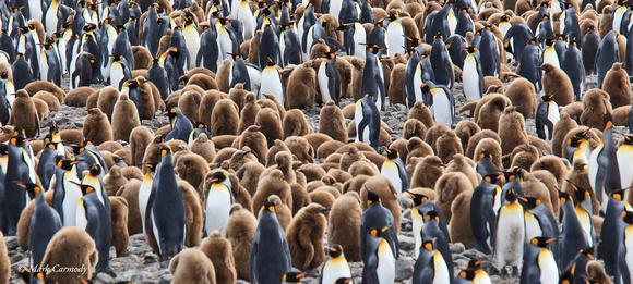 MC008350 King Penguin Oakum