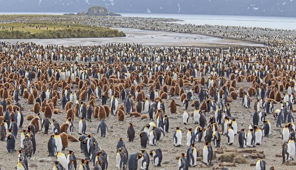 MC008272 King Penguin