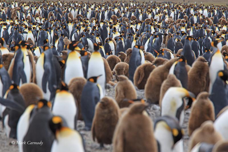 MC008432 King Penguins
